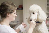 Tierarztpraxis Nussdorf Pudel Niki